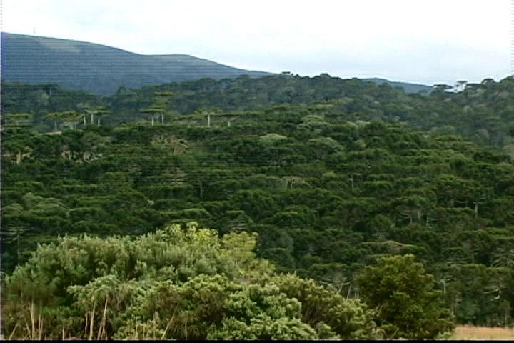 Você está exibindo imagens de: Floresta com araucárias