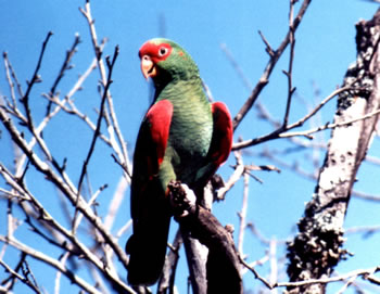 Voc� est� exibindo imagens de: Papagaio-char�o