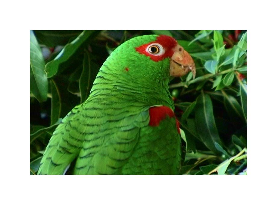 Você está exibindo imagens de: Papagaio-charão